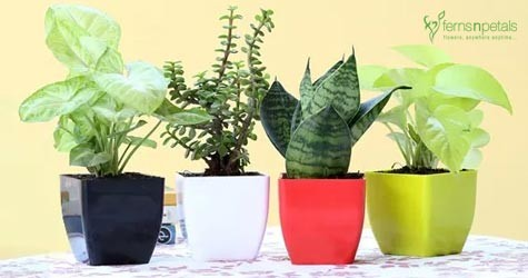 Fernsnpetals Best Price : Outdoor Plants Starting From Rs. 199