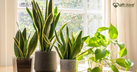 Giftalove Special Deal : Indoor Plants Starting At Rs. 199