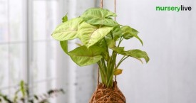 Nurserylive Great Offer : Low Maintenance Plants Starting From Rs. 70