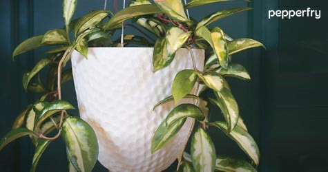 Pepperfry Hot Deal : Upto 45% OFF on Natural Plants